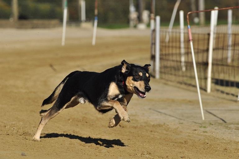 pies na wyścigach